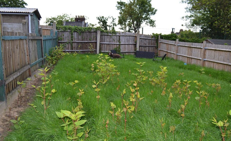 Sell a House with Japanese knotweed - Mark King Properties